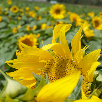 Garver Market Sunflower Farm