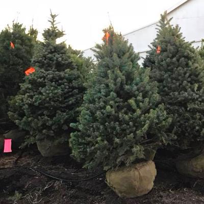 Fresh Cut Christmas Trees Near Me.Fresh Cut Christmas Trees Near Cincinnati