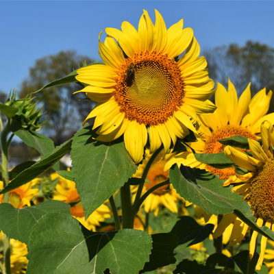Burwinkel Farm Sunflower field